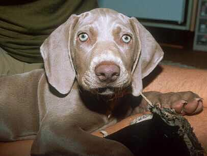 Picture of Weimaraners Dog puppy.